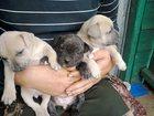 Фото в Собаки и щенки Продажа собак, щенков Щенки от чистокровных породистых родителей. в Тихорецке 7000