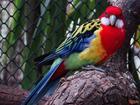 Фото в Домашние животные Птички Куплю розеллу от одного года до двух лет в Тихорецке 3000