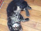 Фото в Кошки и котята Продажа кошек и котят Предлагаем очаровательных котят породы Мейн в Тюмени 12000
