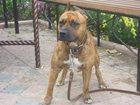 Фото в Потерянные и Найденные Потерянные Пропала собака. Средних размеров, тигрового в Тюмени 0