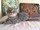 Изображение в Потерянные и Найденные Потерянные Коту 1, 5 года, британец, кличка Алекс. Кастрирован, в Тюмени 0