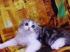 Фотография в Кошки и котята Продажа кошек и котят Предлагается к продаже красавица фолд. Котёнок в Тюмени 10000