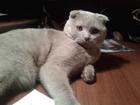 Изображение в Кошки и котята Вязка Предлагаем вязку с шотландским вислоухим в Тюмени 1000
