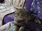 Фотография в Кошки и котята Вязка Приходите с кошечкой на вязку с нашим котом в Тюмени 1000
