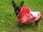 Смотреть фото Вязка собак Срочно нужен кобель той-терьера для вязки 38298675 в Тюмени