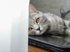 Свежее изображение Вязка кошек Предлагаем шотландского прямоухого красавца для вязки 39850725 в Тюмени