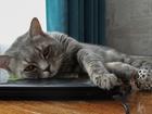 Скачать бесплатно foto Вязка кошек Предлагаем шотландского котика для вязки 42163723 в Тюмени