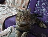 Кот для вязки Приходите с кошечкой на вязку с нашим котом - женихом :) Скоттиш С