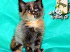 Скачать фото Кошки и котята Продаются котята Мейн-кун, питомник 32762581 в Тольятти