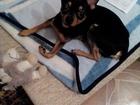 Увидеть foto Вязка собак Связка тойтерьера 38437086 в Тольятти