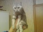 Фото в   Британский кот 2 года с прямыми ушами бесплатно в Тольятти 0