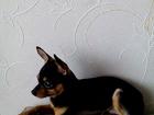 Увидеть foto Вязка собак Вязка тойтерьера 39098457 в Тольятти
