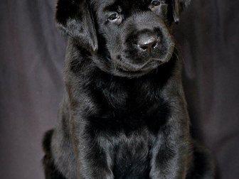 Скачать бесплатно foto Продажа собак, щенков Щенки лабрадора классического черного окраса! 32558452 в Тольятти