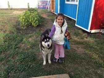 Смотреть изображение Потерянные Пропала собака, порода хаски, 33836499 в Тольятти