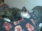 Фото в Кошки и котята Продажа кошек и котят Отдам трехшерстных котят. Две девочки и два в Томске 0
