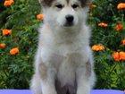 Изображение в Собаки и щенки Продажа собак, щенков Предлагаются к продаже 2 очень  перспективные в Томске 40000