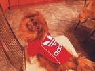Фотография в Собаки и щенки Вязка собак Чудесный пекинес по кличке Митя ищет себе в Томске 500