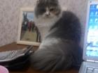 Foto в Кошки и котята Вязка Длинношерстная шотландская вислоухая ищет в Томске 0