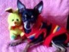 Изображение в Собаки и щенки Вязка собак мини той приглашает на вязку! развязан! вязки в Томске 0