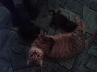 Изображение в Кошки и котята Продажа кошек и котят Пристраиваю кошку мышеловку и 2 котят. Сняли в Томске 0