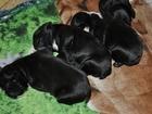 Фото в Собаки и щенки Продажа собак, щенков Продам миленьких щеночков Французского бульдога, в Томске 12000