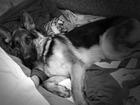 Свежее фотографию Вязка собак Кобель немецкой овчарки (Захар) ищет подружку 39424347 в Томске