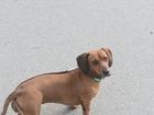 Новое фотографию Вязка собак Девочка такса,ищет кобеля для вязки! 40233814 в Томске