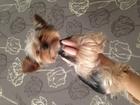 Новое фотографию Вязка собак Вязка йоркширский терьер кобель йорк 45002991 в Томске