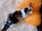 Новое фото Вязка кошек Молодая не развязанная трехцветная беспородная кошечка (1 год) ищет кота для вязки, 53687496 в Томске