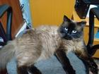 Свежее фото  Кот ищет кошечек для вязки 63135951 в Томске