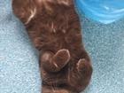 Увидеть фотографию Вязка кошек предлагается для вязки британец вислоухий шоколадный окрас 68102932 в Томске