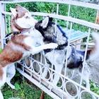 Предлагаются к резерву щенки породы Сибирская хаски