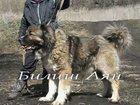 Фотография в Собаки и щенки Продажа собак, щенков Породистые качественные щенки кавказской в Туле 25000