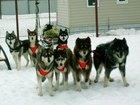 Изображение в Собаки и щенки Продажа собак, щенков Продаются щенки сибирский хаски с родословной, в Туле 30000