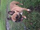 Свежее фото Вязка собак французский бульдог для вязки 38299682 в Туле