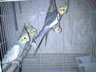 Новое изображение Птички Попугайчики корелла (семейная пара) 38737204 в Туле