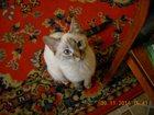 Свежее фото Вязка Ищем порядочного кота для серьезных отношений;) 32509305 в Твери