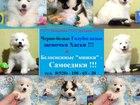 Фотография в Собаки и щенки Продажа собак, щенков Симпатичные щеночки самоедской лайки! Очаровательные в Твери 0