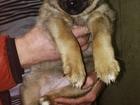 Фотография в  Отдам даром - приму в дар Отдадим в добрые руки щенка от западносибирской в Твери 100