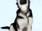 Фотки и картинки Восточно-европейская овчарка смотреть в Твери
