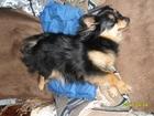 Увидеть изображение Вязка собак Симпатичная девочка ищет кобеля для случки 66336886 в Твери