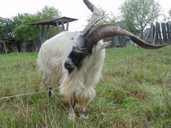 Смотреть foto Другие животные Очень породная козочка, 34060585 в Твери