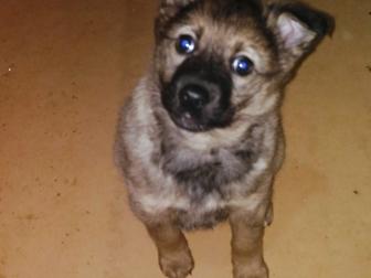 Уникальное изображение Отдам даром - приму в дар Отдам в хорошие руки щенка от западносибирской лайки 38268847 в Твери