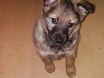 Уникальное фото Отдам даром - приму в дар Отдам в хорошие руки щенка от западносибирской лайки 38268847 в Твери