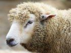Уникальное изображение  Овцы и Бараны 32699563 в Уфе