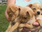 Фотография в Собаки и щенки Продажа собак, щенков Продаются щенки той-терьера. Мальчики. Родились в Уфе 7000