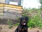 Изображение в Собаки и щенки Продажа собак, щенков Чистокровный кобель Ротвейлера продаётся в Уфе 10000