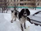 Фото в Собаки и щенки Вязка собак Для вязки требуется кобель спрингер-спаниеля в Уфе 0