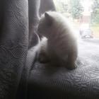 Манчкин котенок продается