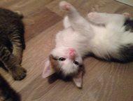 Очаровательные котята Очаровательные котята- мальчики. Игривые и ласковые милашк